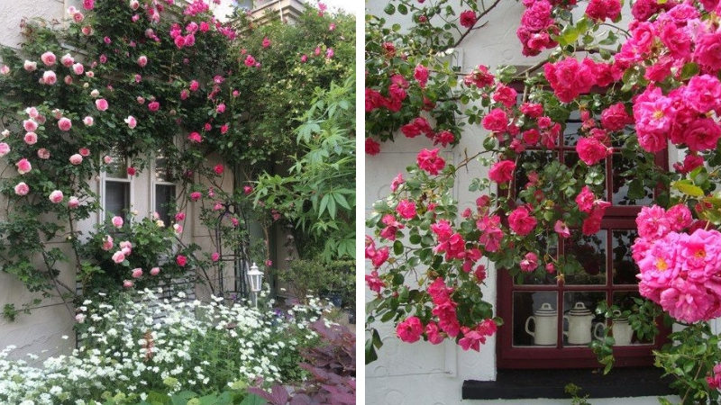 Плетистые розы в декоре