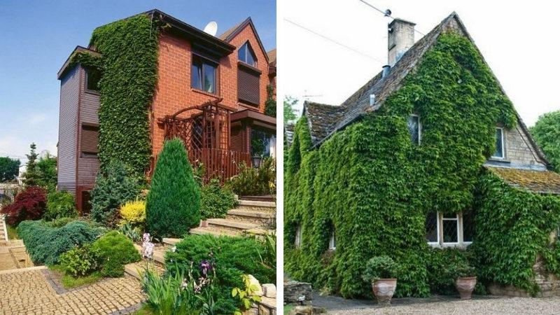 вертикальное озеленения фасада дома