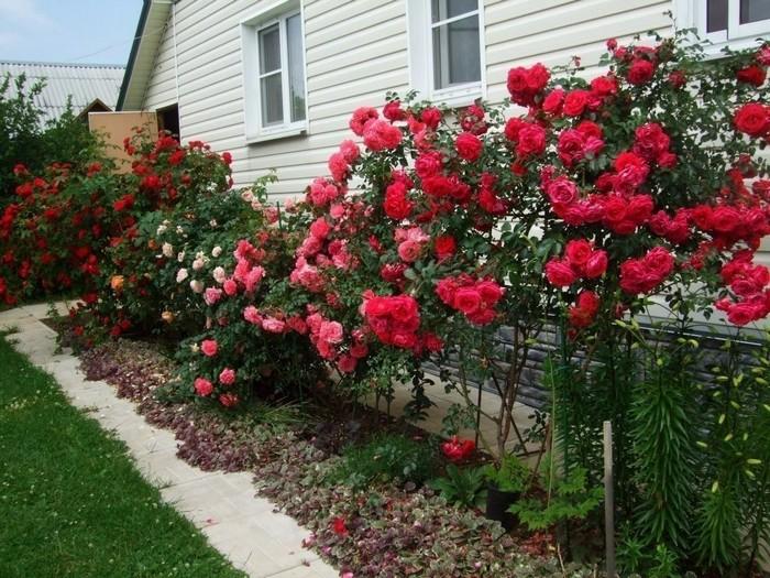 красивые розы