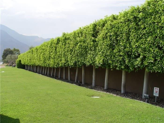 забор из кустарника