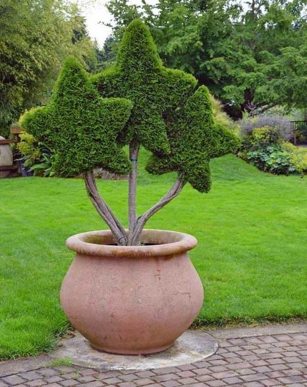 фигурная стрижка хвойных растений